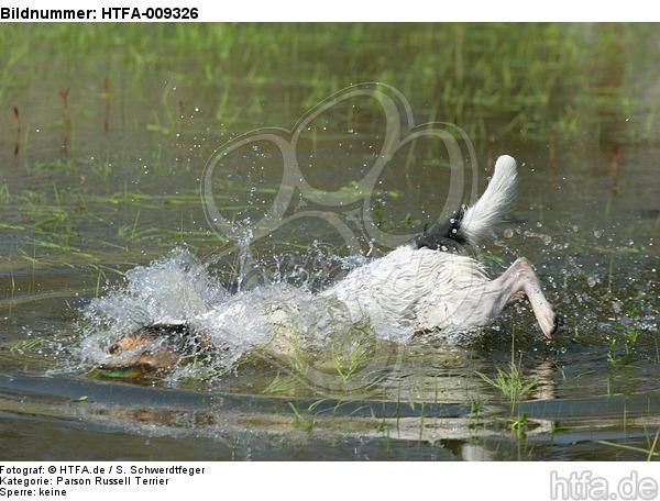 tauchender Parson Russell Terrier / diving PRT / HTFA-009326