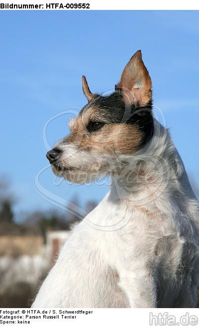 Parson Russell Terrier mit Stehohren / PRT portrait / HTFA-009552