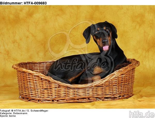 Dobermann im K�rbchen / Doberman Pinscher in basket / HTFA-009683