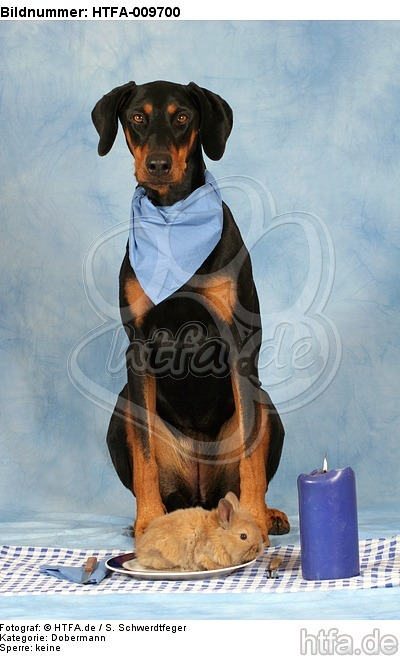 Dobermann beim Essen / Doberman Pinscher at dinner / HTFA-009700