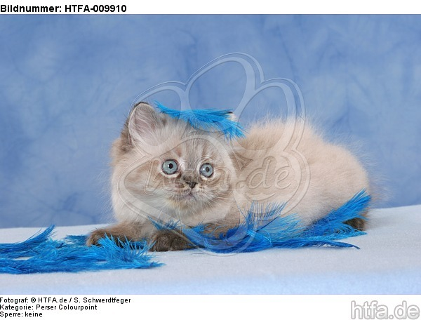 liegendes Perser Colourpoint K�tzchen / lying persian colourpoint kitten / HTFA-009910