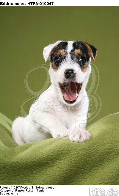 g�hnender Parson Russell Terrier Welpe / yawning PRT puppy / HTFA-010047