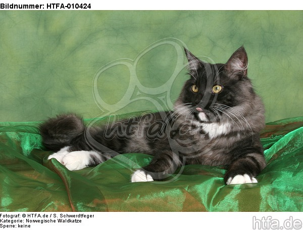 liegende Norwegische Waldkatze / lying Norwegian Forestcat / HTFA-010424