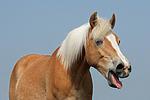 g�hnender Haflinger / yawning haflinger horse