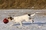 Parson Russell Terrier spielt im Schnee / playing PRT in snow