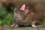 Farbratte mit Blume / rat with flower