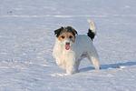 Parson Russell Terrier im Schnee / prt in snow