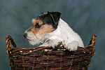 Parson Russell Terrier und Maus / dog and mouse