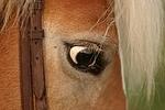 Haflinger Auge / haflinger horse eye