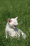 mauzendes K�tzchen / mewing kitten