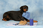 Dobermann beim Essen / Doberman Pinscher at dinner
