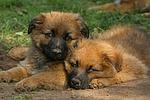Harzer Fuchs Welpen / Harzer Fuchs puppies