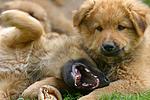 spielende Harzer Fuchs Welpen / playing Harzer Fuchs puppies