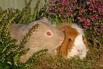 2 Meerschweine / 2 guninea pigs