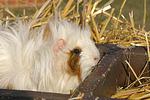 Langhaarmeerschwein / long-haired guninea pig