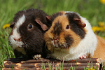 US-Teddy Meerschweine / US-Teddy guninea pigs