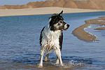 Border Collie steht im Wasser / bathing Border Collie