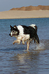 Border Collie rennt durchs Wasser / running Border Collie