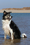 Border Collie sitzt im Wasser / Border Collie sitting in water