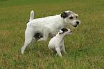 spielende Parson Russell Terrier / playing PRT