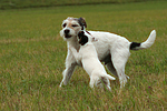 2Parson Russell Terrier