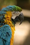 Gelbbrustara / blue and gold macaw
