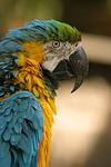 Gelbbrustara / blue and gold macaw