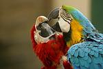 Aras / macaws