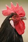 Vorwerkhuhn Hahn Portrait / cock portrait