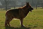 Deutscher Sch�ferhund steht im Gegenlicht / standing German Shepherd