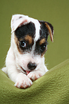 Parson Russell Terrier Welpe putzt sich / PRT puppy