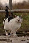 stehende Hauskatze / standing domestic cat
