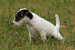 urinierender Parson Russell Terrier Welpe / urinating PRT puppy