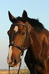 Holsteiner Portrait