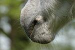 Deutsches Reitpony Maul / pony mouth