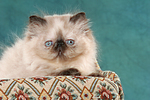Perser Colourpoint K�tzchen / persian colourpoint kitten