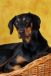 Dobermann Portrait / Doberman Pinscher Portrait