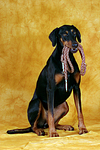 Dobermann apportiert Leine / Doberman Pinscher retrieves leash