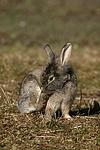 L�wenk�pfchen / lion-headed rabbit
