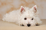 liegender West Highland White Terrier Welpe / lying West Highland White Terrier Puppy