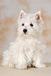 sitzender West Highland White Terrier Welpe / sitting West Highland White Terrier Puppy