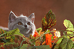 Britisch Kurzhaar K�tzchen / british shorthair kitten