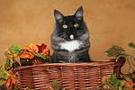 Norwegische Waldkatze Portrait / Norwegian Forestcat Portrait