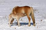 Haflinger / haflinger horses