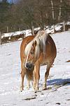 Haflinger / haflinger horse