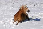 liegender Haflinger / lying haflinger horse
