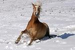 Haflinger steht auf / haflinger horse is standing up