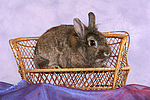 Zwergkaninchen / dwarf rabbit