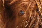 Schottisches Hochlandrind Auge / highland cattle eye