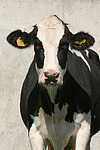 Rind Portrait / cattle portrait